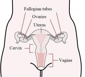 Uterus Tubes and Ovaries