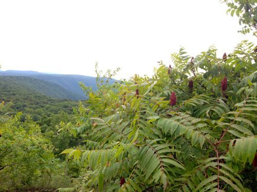 staghorn-sumac-stand
