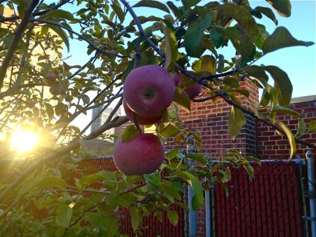 APPLES IN THE SUN