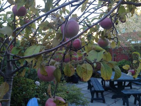 Container Garden Apples